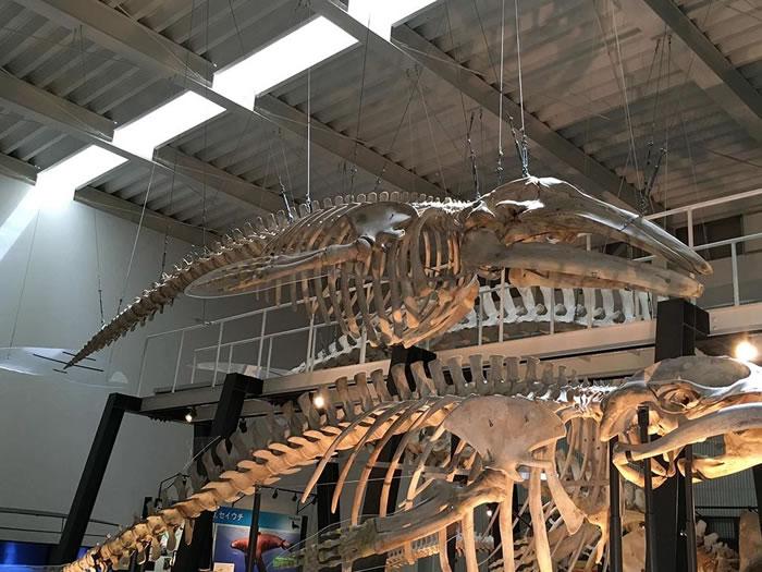 现存少数太平洋西岸灰鲸的全身骨骼标本(图片中间。下方的骨骼标本为小须鲸)。作者摄于日本北海道足寄动物化石博物馆。