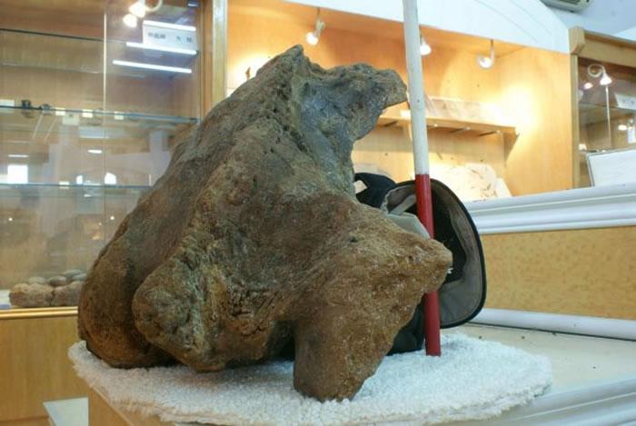 从台湾周围海域的澎湖海沟所发现的灰鲸头骨化石,红白间隔的长度为20公分。作者摄于台南大地化石矿石博物馆。