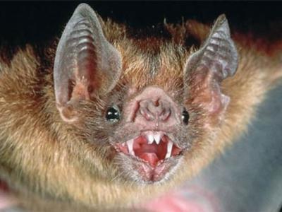 巴西生活的吸血蝙蝠栖息地被侵占竟然吸食人类的血液