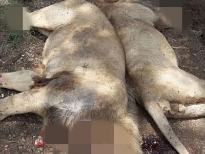 南非3头雄狮惨遭毒杀 斩首割四肢作巫术材料