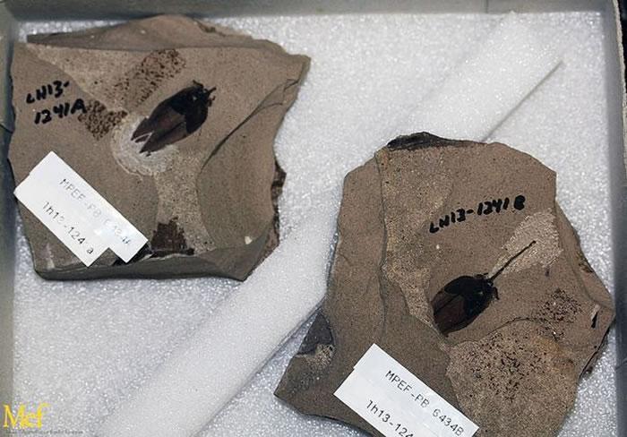 化石的发现让茄科植物的起源往前推了至少2500万年