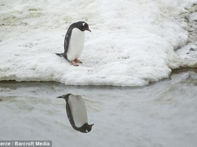 南极洲耐可峡湾自恋企鹅盯着自己倒影10分钟