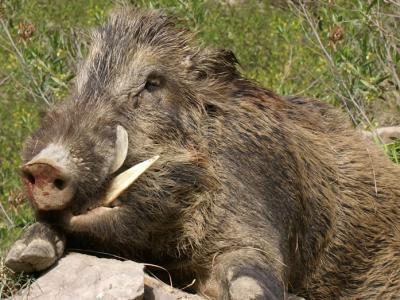 野猪激增 西班牙聘弓箭手猎杀
