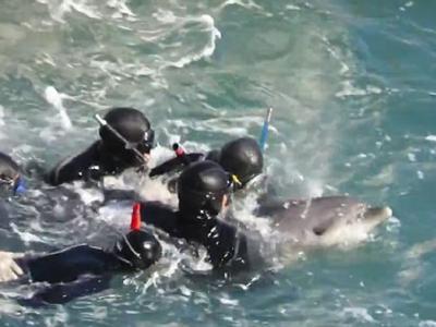 日本渔民在和歌山县太地町捕小海豚卖给水族馆 海豚妈妈试图救子