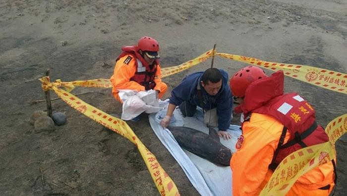 台湾老梅沙滩年幼露脊鼠海豚搁浅死亡