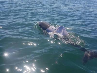 澳洲宽吻海豚被穿蓝色T恤 气孔恐随时被遮住窒息