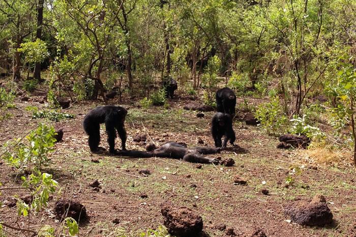 """塞内加尔黑猩猩研究中心""""猩猩王""""遭同类群殴死亡 尸体还遭雌性同伴吞食"""