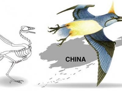 """发现1.3亿年前早白垩世反鸟类""""多齿胫羽鸟"""":尾综骨与尾羽在鸟类早期演化中相互独立"""