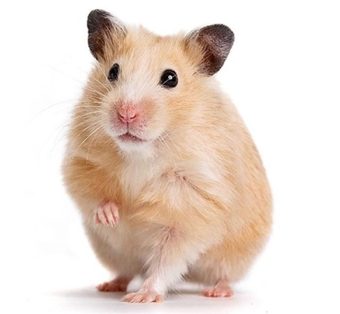 仓鼠一向都是不少爱宠物之人锺爱的对象。