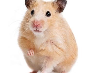 法国最新研究发现玉米喂饲或令仓鼠变食肉兽