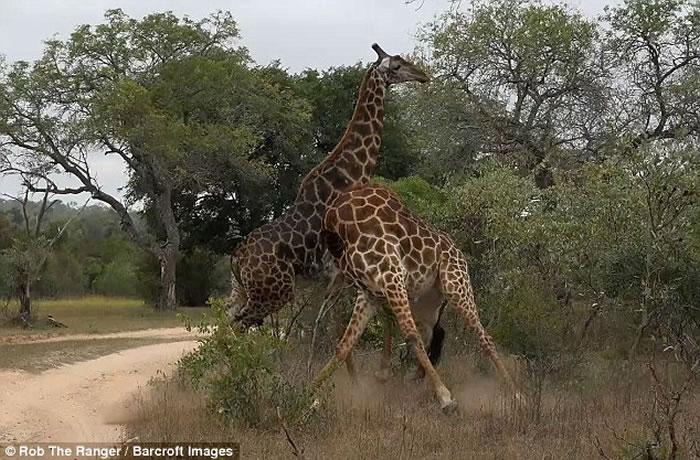 南非两只雄性长颈鹿为争夺雌性同伴不惜摆动长颈互相竞争