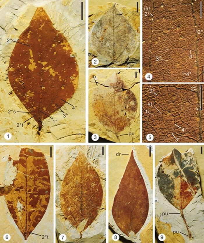 尖叶马蹄荷化石