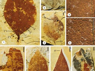 云南文山发现的马蹄荷叶片和托叶化石研究建立的化石新种——尖叶马蹄荷