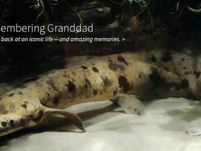 """世界上最长寿的""""老爷爷(Granddad)""""肺鱼去世"""