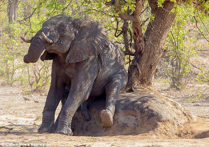 南非克鲁格国家公园聪明大象不忍蚂蚁咬屁股 用大石搔痒