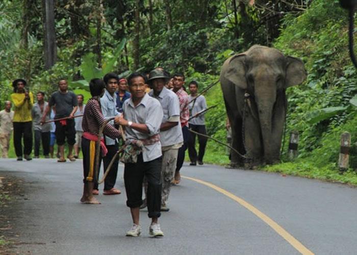 多名村民合力拉住大象。