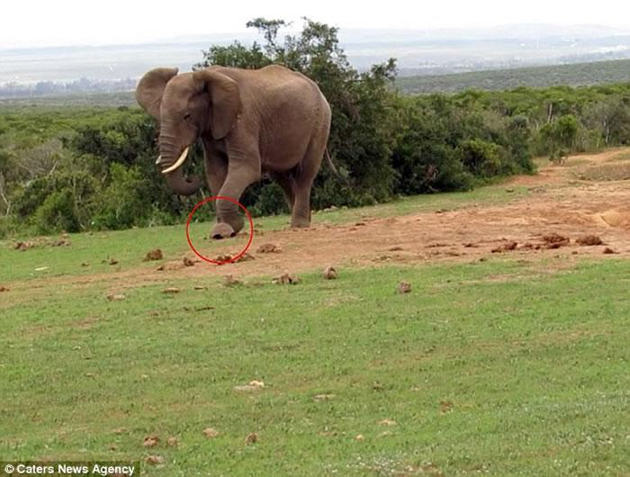 南非阿多大象国家公园大象嫌陆龟爬得慢 用脚踢对方