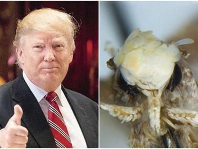 加拿大生物学家发现的新品种飞蛾以特朗普命名