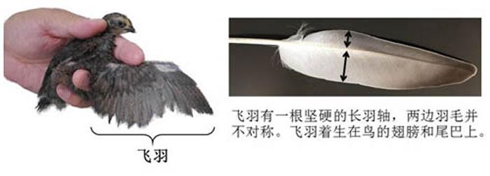 鸟类特有形态之一:翅膀上的飞羽是赋予鸟类飞行能力的最重要特征。