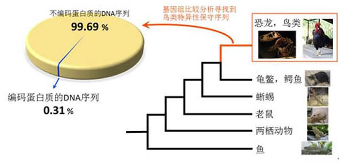 鸟类在演化过程中几乎没有产生新的基因:通过比较48只鸟及9种其他动物的基因组,发现在鸟类特异保守的DNA序列中,几乎全是(99.69%)不编码蛋白质的。