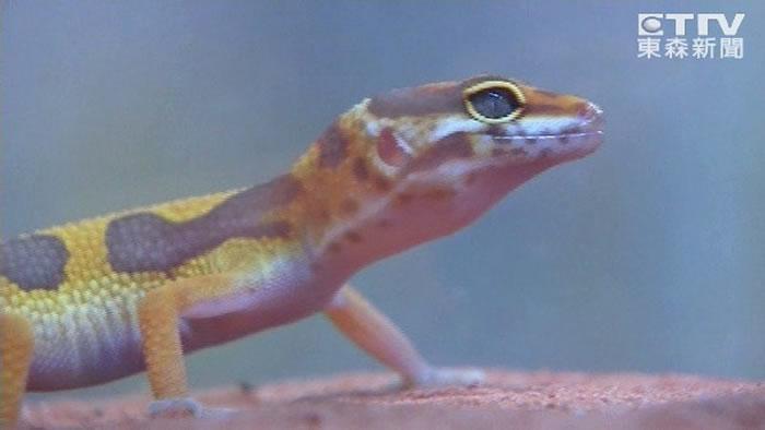 台湾研究发现蜥蜴断尾后的存活机率会下降30% 尾巴长回来后存活率则会恢复原状