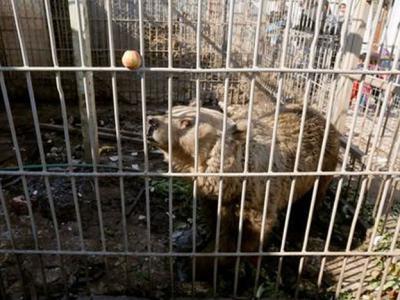 伊拉克摩苏尔遭受战火重创 努尔动物园只剩下一只熊和一只狮子活着