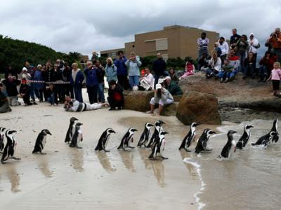 气候变迁加上人类滥捕鱼获让濒危非洲企鹅处境更加艰困