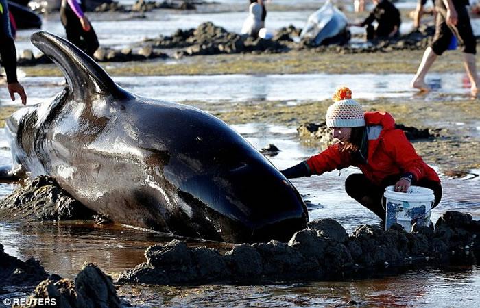 """400头领航鲸搁浅新西兰""""送别角"""" 仅100只存活却不愿离开"""
