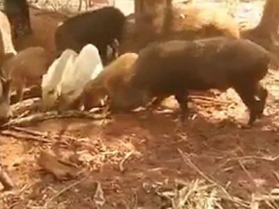 为死去同类报仇 东南亚一群猪围剿大蟒蛇