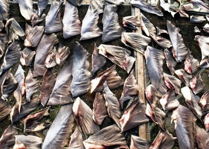 捕鲨割鱼翅做法惹人关注。