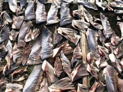 台湾女商人在哥斯达黎加偷割鱼翅 被判处监禁6个月