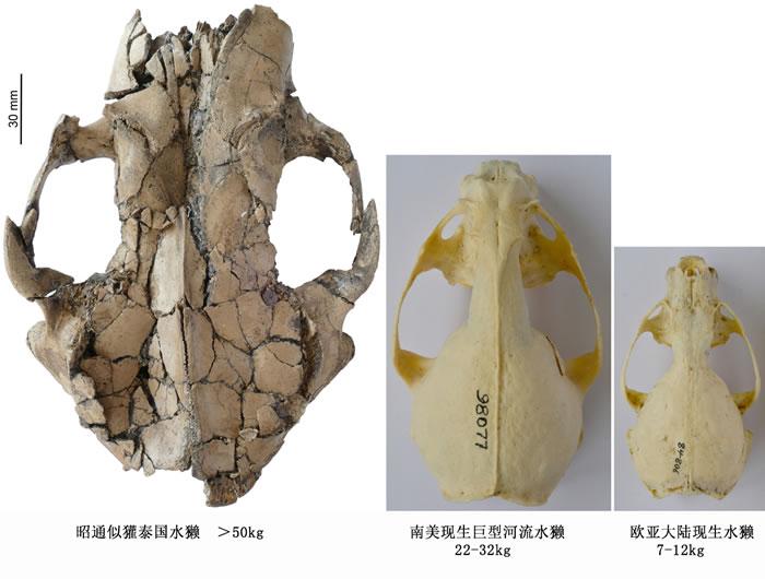 昭通水獭与现生水獭头骨大小和体重对比图 王晓鸣供图