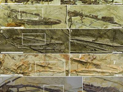 悟空翼龙类头饰研究最新成果:头饰非区分雌雄个体标志 是不同属种的鉴别特征