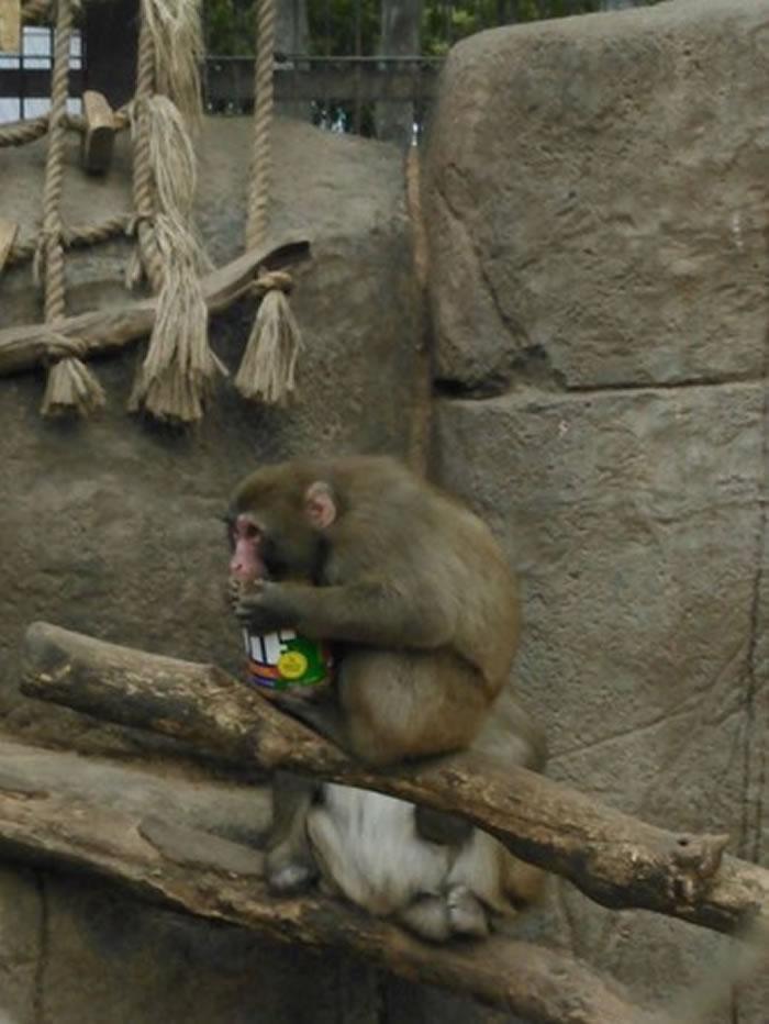 美国威斯康辛州动物园猴子坐在树枝上抱着花生酱埋头猛吃