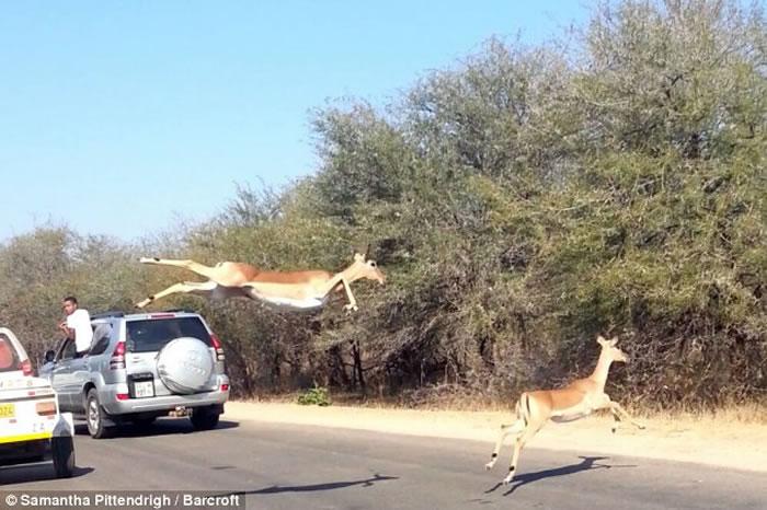 南非克鲁格国家公园被猎豹追杀的羚羊飞越车阵