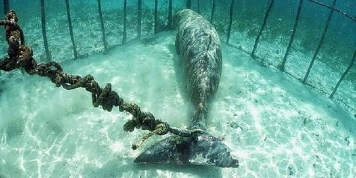 """印尼可可亚岛潜水员潜水惊见""""美人鱼""""被绑笼中"""