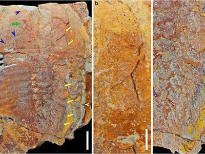 4亿7000万年前的摩洛哥三叶虫化石让科学家解开这些似虫动物如何移动和进食