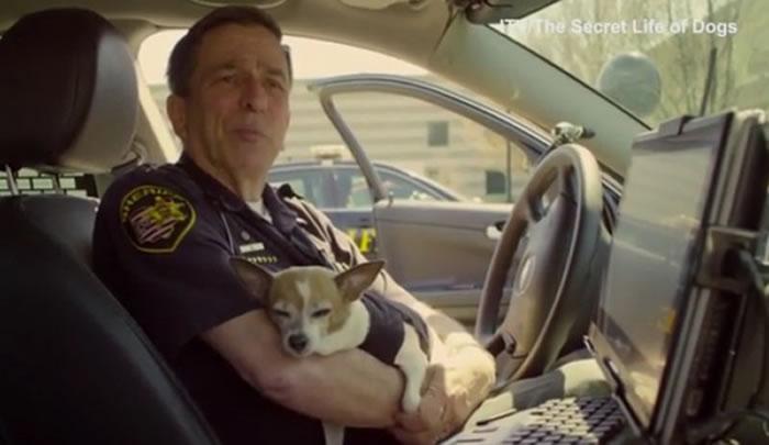 谁说警犬一定高大威猛?美国俄亥俄州世界首只吉娃娃警犬超可爱