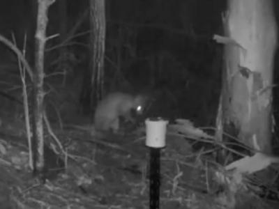 澳洲悉尼森林夜视照相机拍到一只像猫咪又像袋鼠的神秘生物