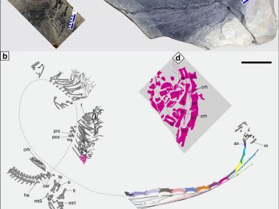 """新研究展示2.45亿年前海生爬行动物""""恐头龙""""为胎生的化石证据"""
