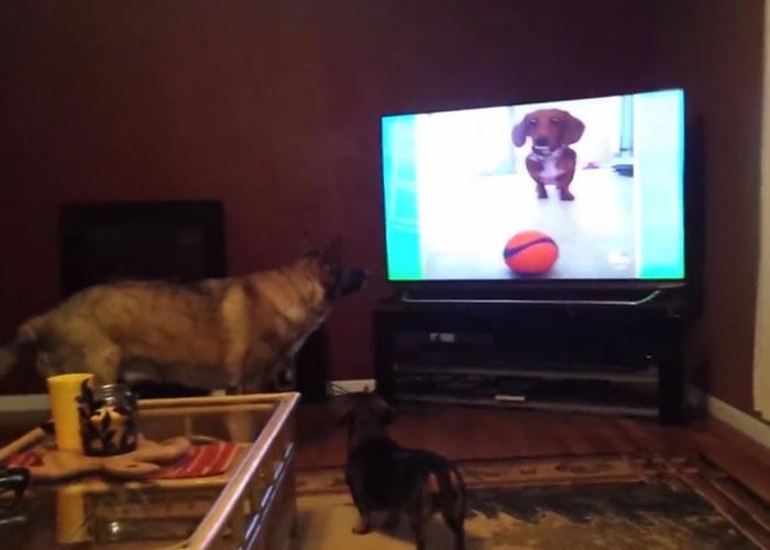 狼狗和腊肠狗好奇地紧盯着电视画面内的腊肠狗。