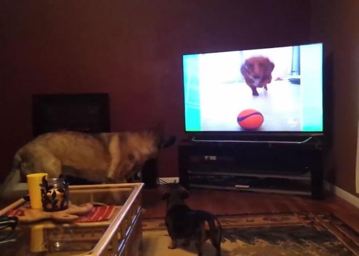 电视画面内的腊肠狗作势扑前,狼狗和腊肠狗已开始惊慌。