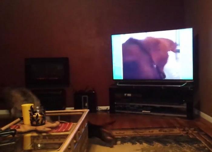 电视画面内的腊肠狗扑前咬住镜头前的小皮球,狼狗和腊肠狗吓得躲到沙发后面。