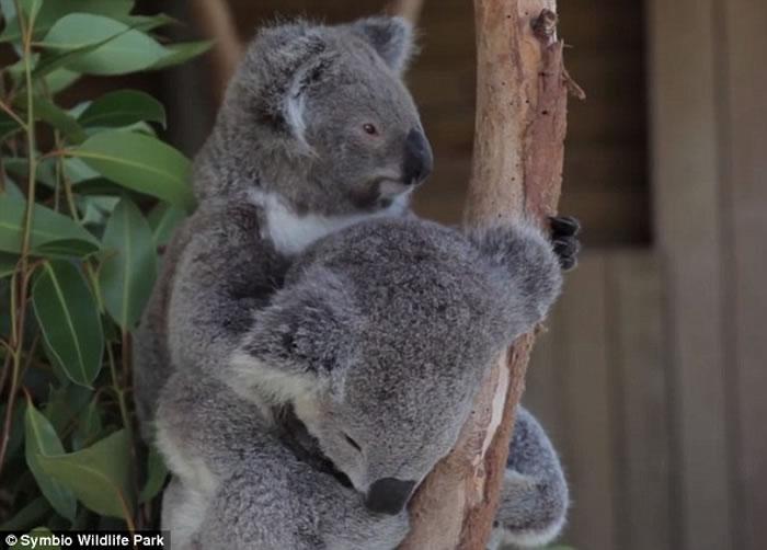 澳洲两只树熊相互拥抱入睡