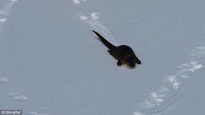 美国黄石国家公园海獭冰河上玩耍乐此不疲