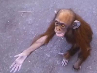母亲被猎人杀害 刚果民主共和国濒死小猩猩伸手求助