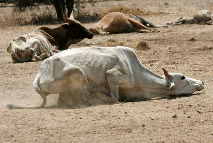 水源与粮食不足,牛只瘦到皮包骨,无力站立。