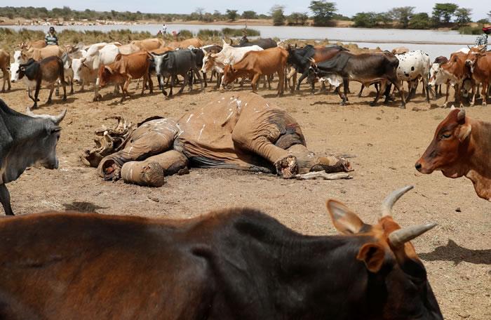 武装牧民争水求生枪杀6头大象