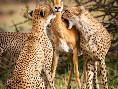 高角羚妈妈直视前方 无视3只猎豹张大嘴准备撕杀