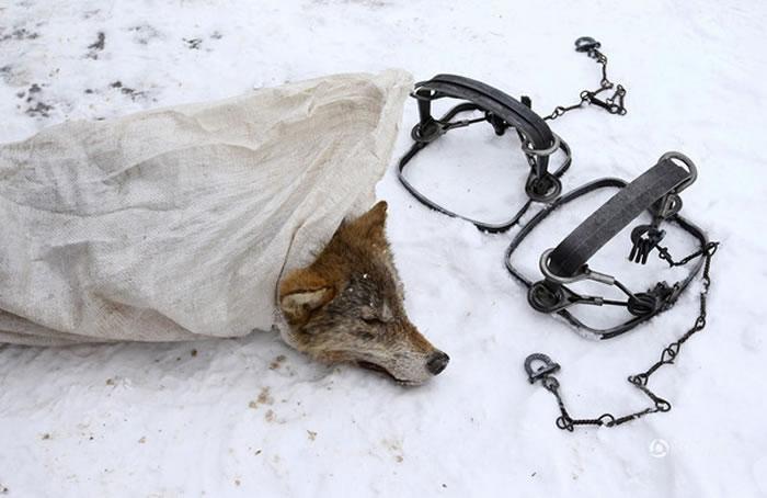 白俄罗斯和乌克兰的交界处狼群群过多 居民只好痛下杀手自保